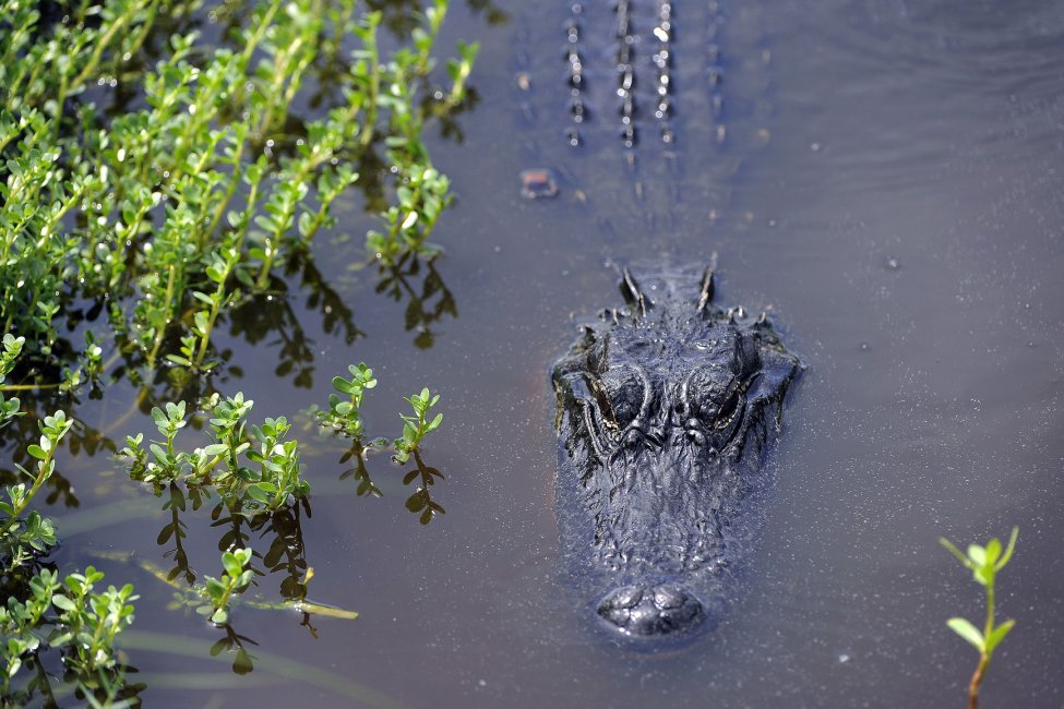 'Very docile' alligator missing from Wisconsin zoo
